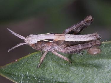 grasshopper - nymph