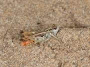 Mottled Grasshopper (Myrmeleotettix maculatus) - male