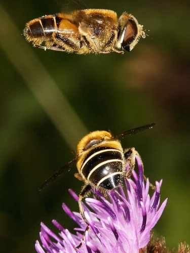 Eristalis nemorum - male and female