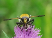 Hoverfly Gallery