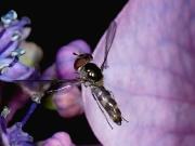 Meliscaeva auricollis