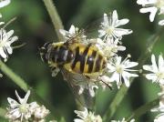 Myathropa florea