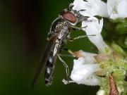Platcheirus albimanus
