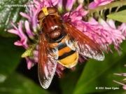 volucella zonaria hoverfly 3492