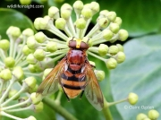 Volucella zonaria hoverfly on Ivy (Hedera helix) © Claire Ogden