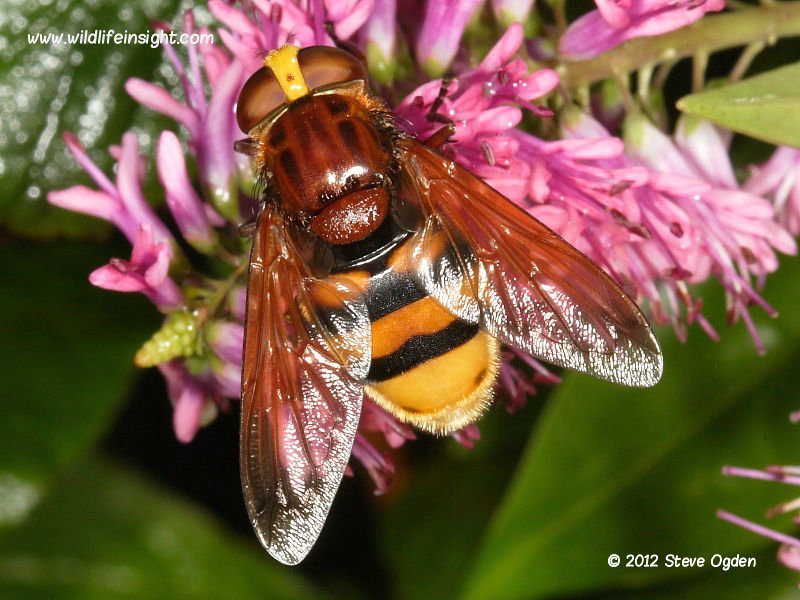 Volucella zonaria hoverfly © 2012 Steve Ogden