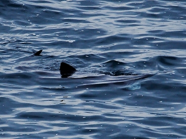 Basking Shark (Cetorhinus maximus) Pendeen Watch, Cornwall