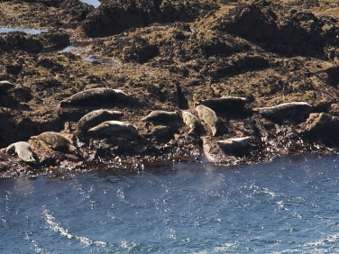 Grey Seals (Halichoerus grypus) hauled out on rocks below Gwennap Head coastguard station, Cornwall