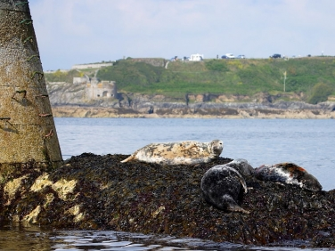 Grey Seal (Halichoerus grypus) Wolf Rock