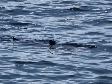 Basking Shark (Cetorhinus maximus) sighting while seawatching from Cornish coast