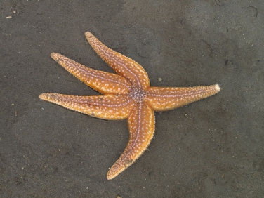 Common Starfish (Asterias rubens)