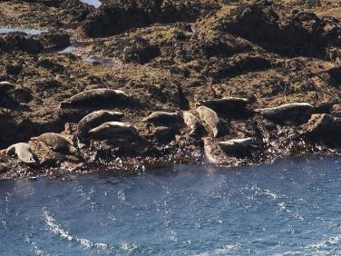 Grey Seals (Halichoerus grypus) hauled out on rocks below Gwennap Head coastguard station, Cornwall