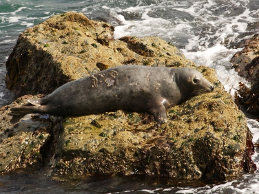 Grey Seal (Halichoerus grypus) at St Ives Island