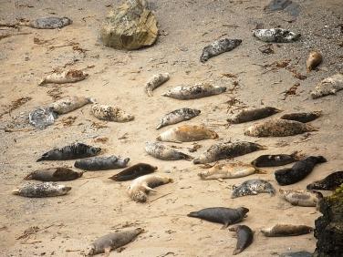 Grey Seal (Halichoerus grypus) at Godrevy