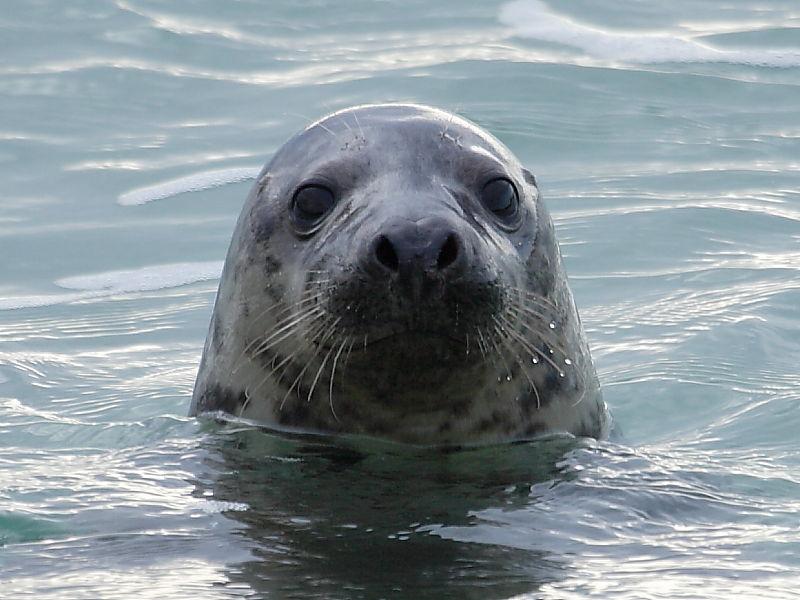 Grey Seal (Halichoerus grypus) at Godrevy Cove