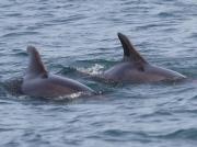 Bottlenose Dolphins (Tursiops truncatus)