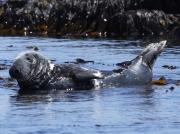 Grey Seal (Halichoerus grypus)