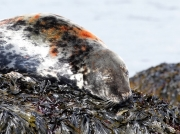 Grey Seal (Halichoerus grypus)  on rock