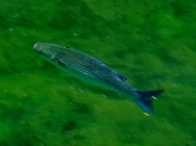 Thick-lipped Mullet (Chelon labrosus)