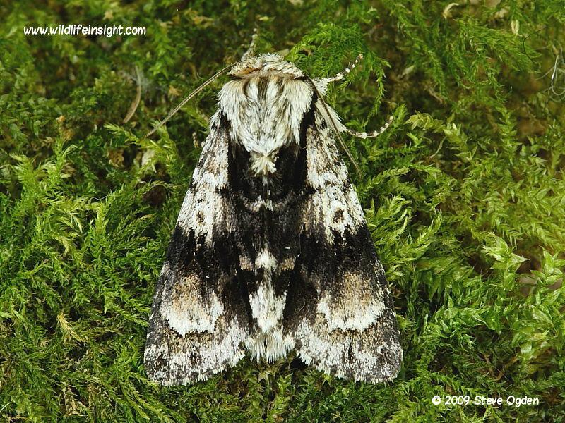 Alder moth (Acronicta alni) North Cornwall © 2009 Steve Ogden