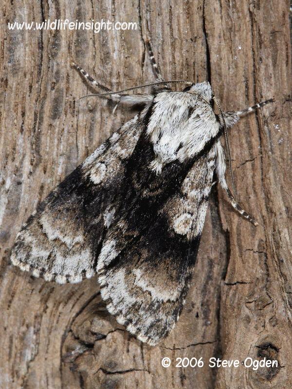 Alder moth (Acronicta alni) Somerset UK © 2006 Steve Ogden