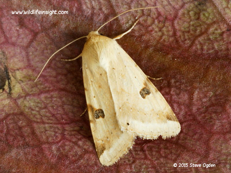 Bordered Straw moth (Heliothis peltigera) migrant attracted to light in Cornwall © 2015 Steve Ogden