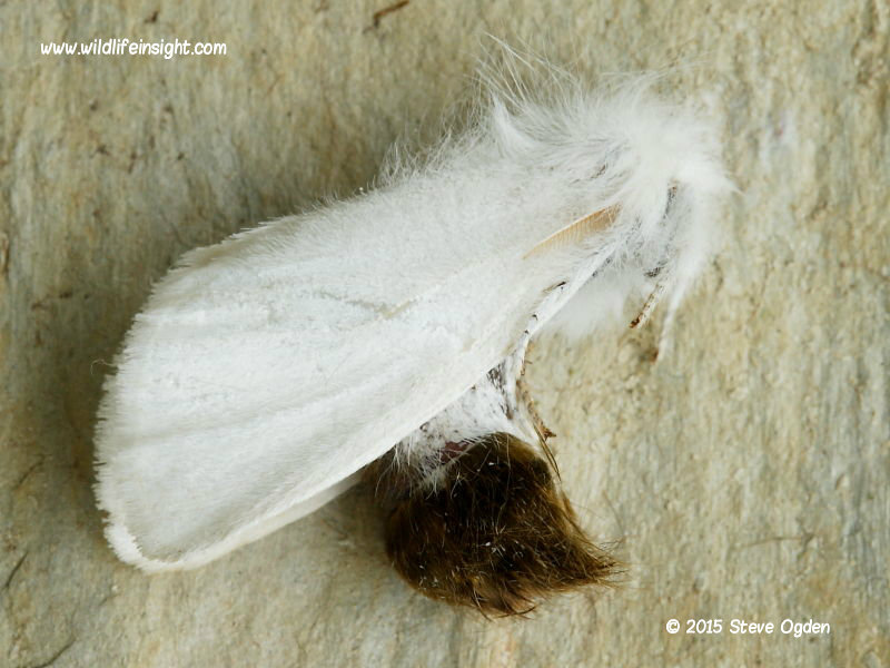 Brown-tail moth feigning death and revealing brown tail © 2006 Steve Ogden