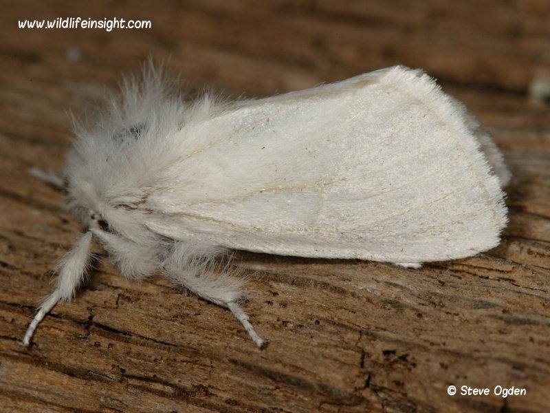 Brown-tail moth (Euproctis chrysorrhoea)  © steve ogden
