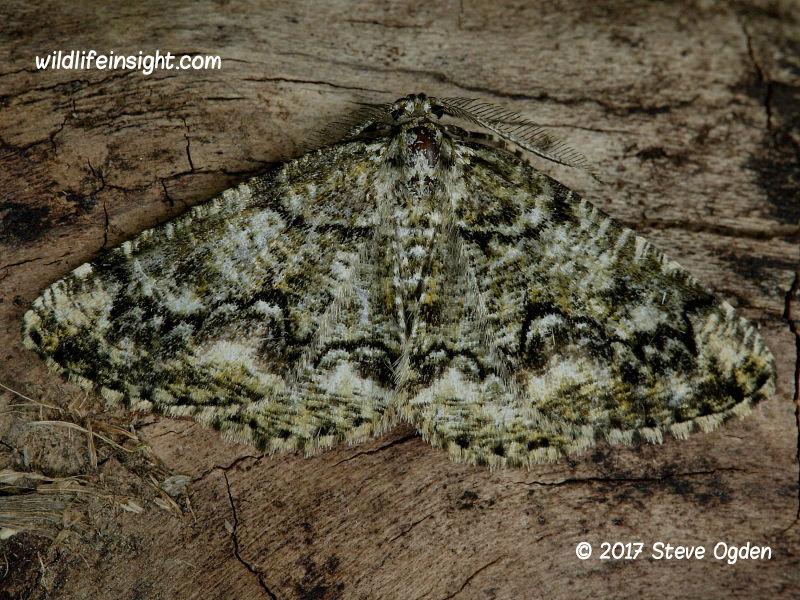 Brussels Lace (Cleorodes lichenaria) © 2017 Steve Ogden