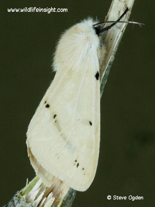 Female Buff Ermine moth  (Spilosoma luteum) © 2014 Steve Ogden