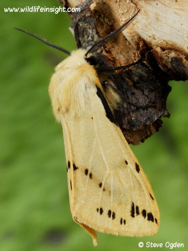Buff Ermine moth male (Spilosoma luteum) © 2014 Steve Ogden