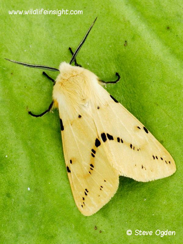 Buff Ermine moth (Spilosoma luteum) © 2012 Steve Ogden