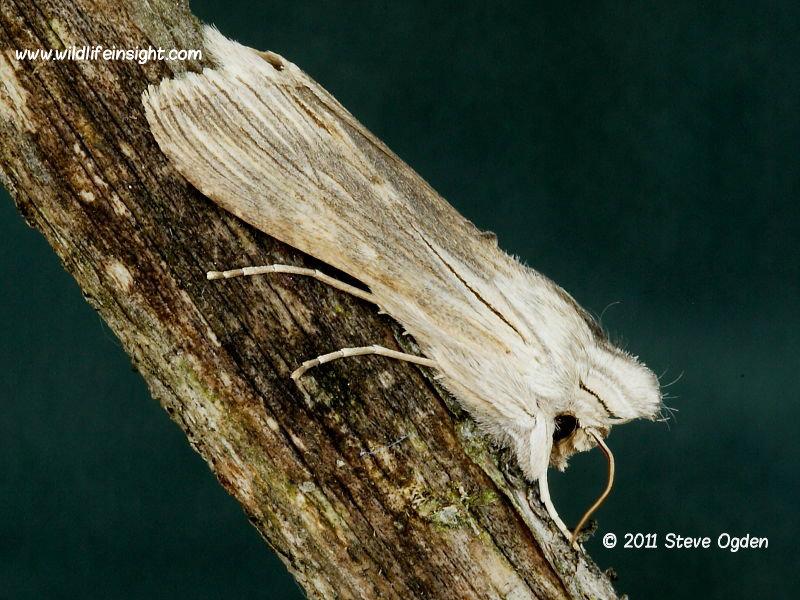 Chamomile Shark moth Cucillia chamomillae © 2011 Steve Ogden