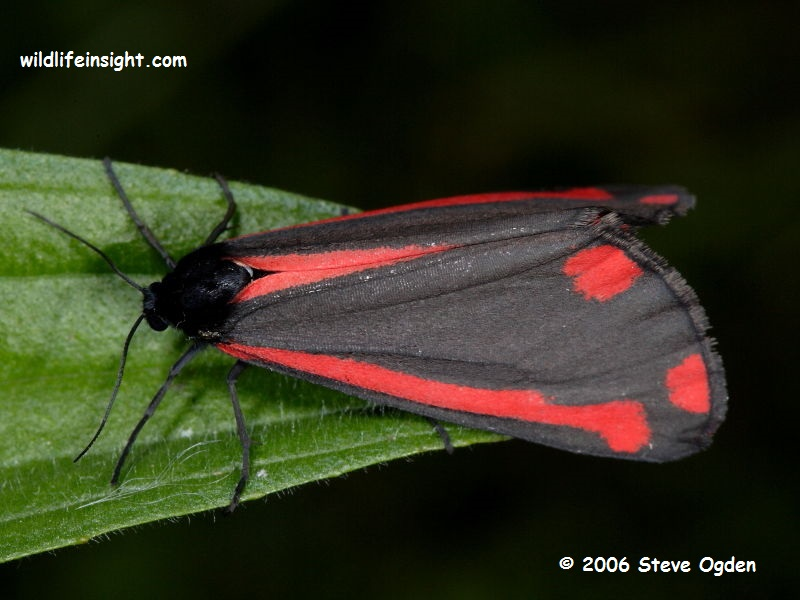 The Cinnabar Moth (Tyria jacobaeae) © Steve Ogden 2006