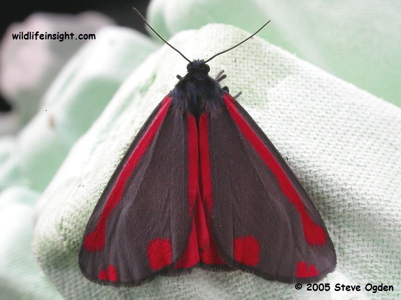 The Cinnabar Moth (Tyria jacobaeae) attracted to light © Steve Ogden 2005