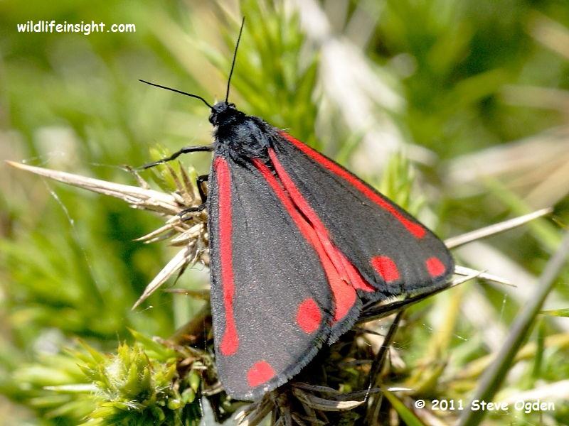 The Cinnabar Moth (Tyria jacobaeae) © Steve Ogden 2011