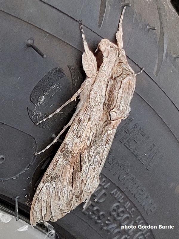 Convolvulus Hawkmoth (Agrius convolvuli) found on a car in Glasgow, Scotland, photo Gordon Barrie