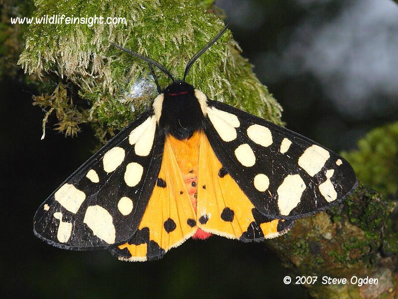 Cream-spot Tiger moth (Arctia villica) 2007 Steve Ogden