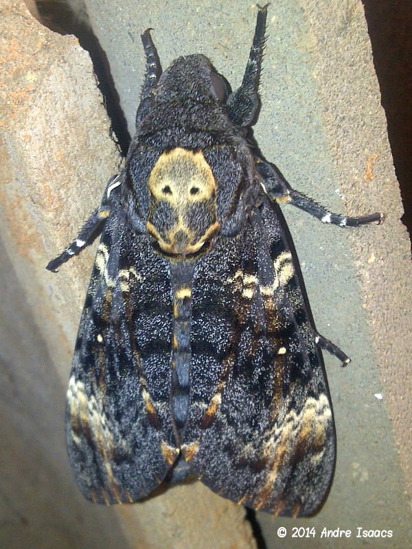 Death's-head Hawkmoth (Acherontia atropos) emerged from pupa inside shed in Durban South Africa © 2014 Andre Isaacs