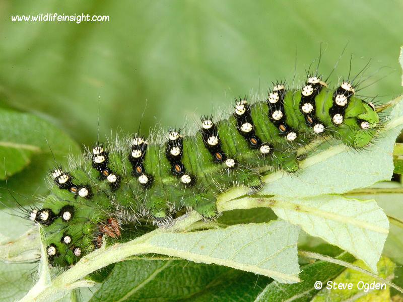 Emperor Moth caterpillar (Saturnia pavonia) fully grown © 2014 Steve Ogden