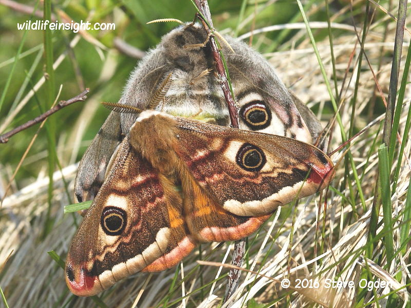 Male and female Emperor Moths Pavonia pavonia © 2016 Steve Ogden