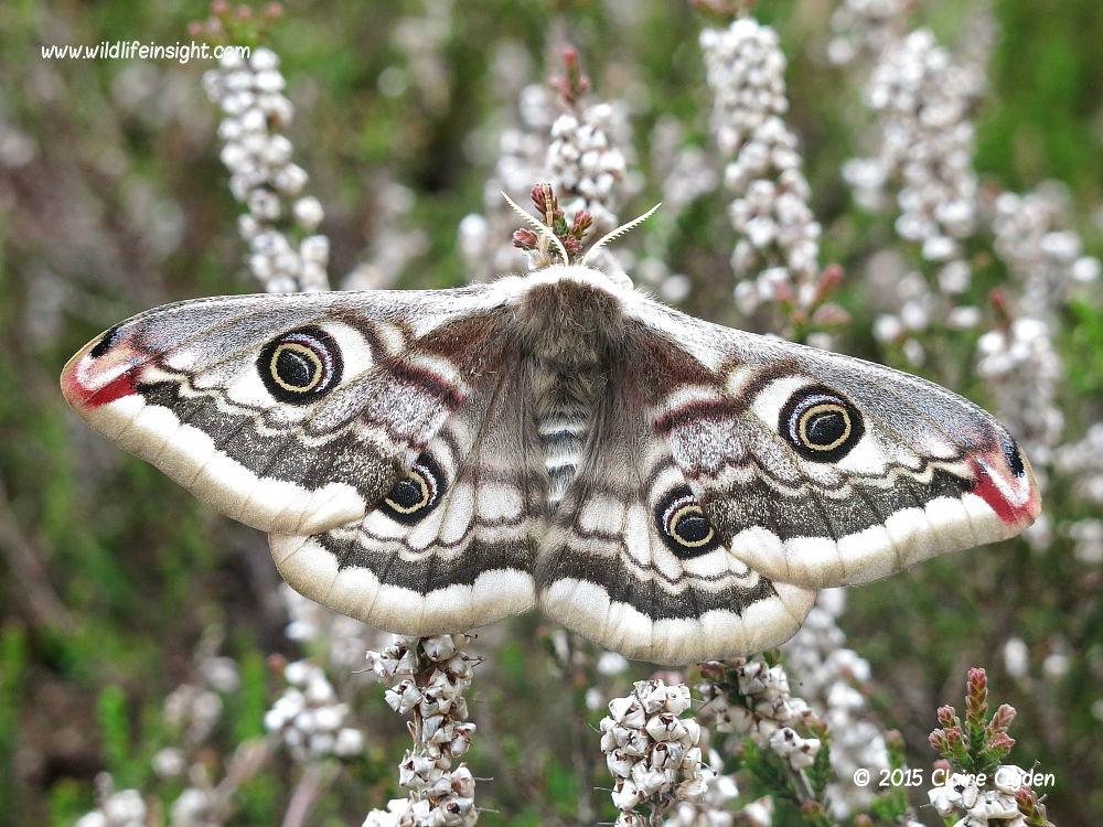 Female Emperor Moth (Saturnia pavonia) © 2015 Claire Ogden