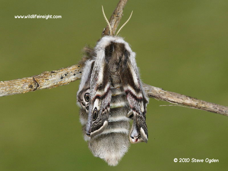 Recently emerged Emperor moth inflating wings © 2010 Steve Ogden