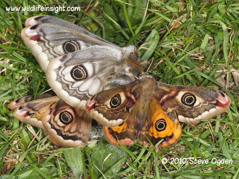 Emperor moths coupling (Saturnia pavonia) © 2010 Steve Ogden