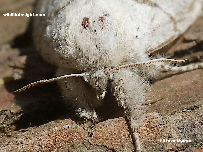 Antennae of Female Pale Tussock (Calliteara pudibunda) moth - photo Steve Ogden