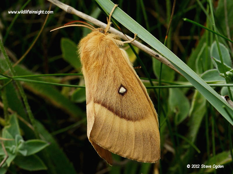 Freshly emerged female oak Eggar  (Lasiocampa quercus) © 2006 Steve Ogden