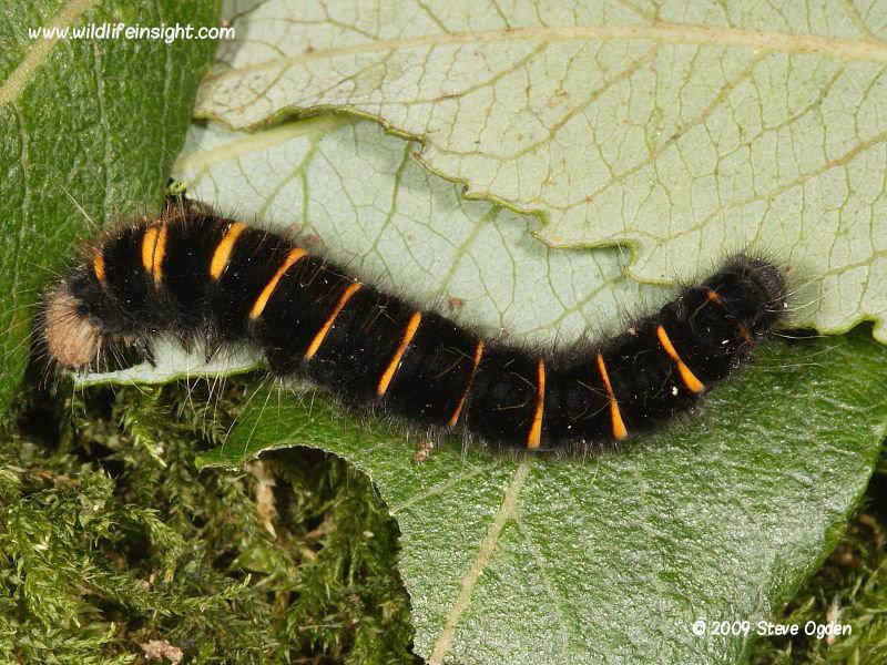Fox moth caterpillar (Macrothylacia rubi)  late summer instar © 2009 Steve Ogden