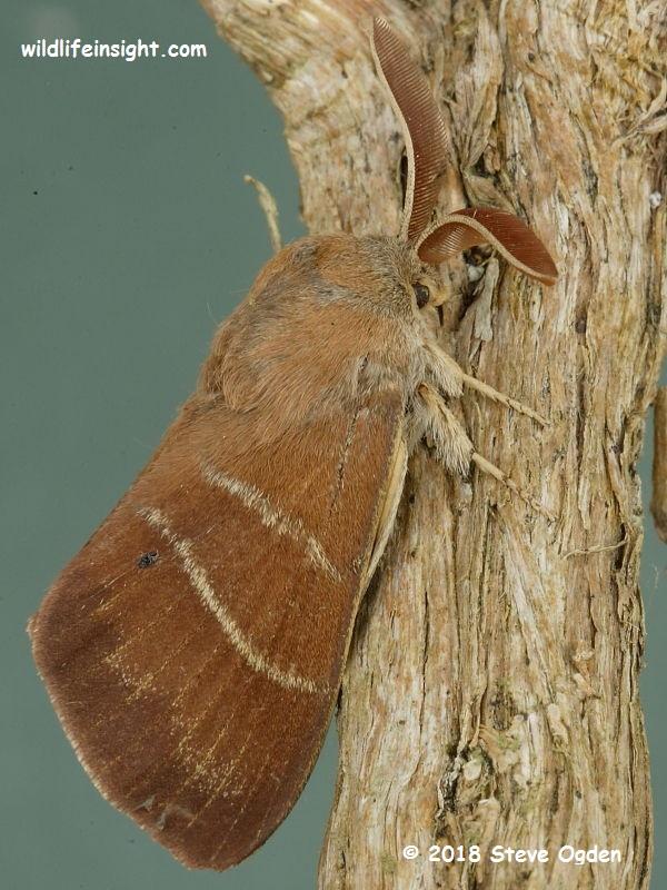Fox Moth male (Macrothylacia rubi) © 2018 Steve Ogden