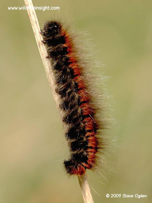Fox Moth pre over wintering caterpillar © 2009 Steve Ogden