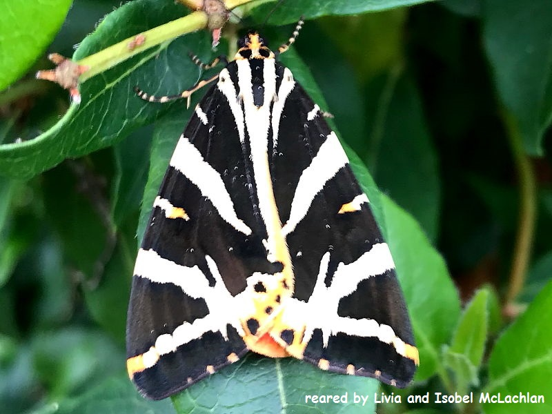 Jersey-Tiger-Moth reared by Livia and Isobel McLachlan
